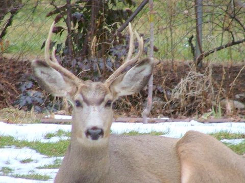 A photo of a deer laying down in Gramps' backyard.