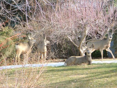 A photo of many deer laying down and standing in Gramps' backyard.
