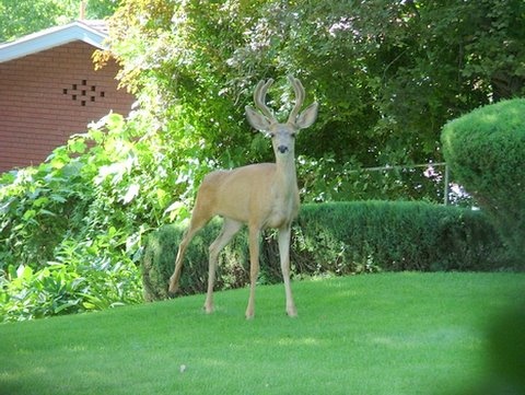 A photo of a single deer standing on Gramps' green lawn.
