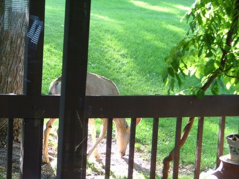 A photo of another deer in Gramps' backyard, grazing.